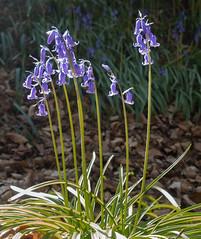 Brilliant Bluebells (Caroline S White) Tags: blackcovert ceredigion cymru blue bluebell colour flora glas