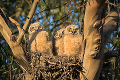 The nest is getting crowded (alicecahill) Tags: california usa wild wildlife ©alicecahill sanluisobispocounty babies bird 3 nest owl three owlets animal morrobay
