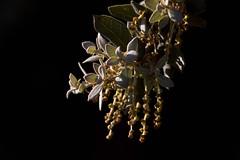 Holm oak flowers (ramosblancor) Tags: naturaleza nature plantas plants árboles trees flores flowers hojas leaves holmoak encina quercusilex primavera spring mediterráneo mediterranean madrid españa spain