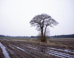 Last tree (Rosenthal Photography) Tags: bäume 6x7 ff120 asa100 baum landschaft pflanzen eiche fujiprovia100f natur 20170302 mamiya7 analog landscape nature tree oak fields mediumformat mamiya fuji provia color epson v800 diafilm