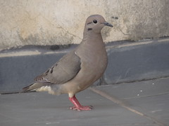 DSC00667 (familiapratta) Tags: sony dschx100v hx100v iso100 natureza pássaro pássaros aves nature bird birds novaodessa novaodessasp brasil