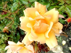 Rose (michellemätzig) Tags: rose nature yellow orange flower europe germany incredible wow colour best beautiful favorite fantastic good gorgeous exciting awesome