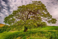 Magic Tree 3 (stuanderson7) Tags: grass california morning landscape tree countryside nature sonya6000 green sky outdoor hills sunrise clouds samyang12mmf2