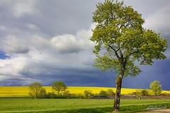 L'arbre avant l'orage (mg photographe) Tags: arbre tree orage storm colza jaune yellow landscape paysage bourgogne saint seine nuages