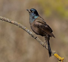 Construction is Dirty Business (Slow Turning) Tags: quiscalusquiscula commongrackle bird dirtybeak iridescent iridescence perched tree branch stick lichen bokeh spring southernontario
