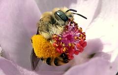 Chimney Bee (Diadasia sp) (J.Thomas.Barnes) Tags: