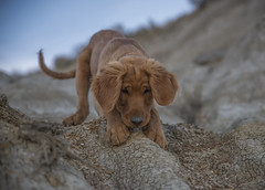 Baby Steps (Lightcrafter Artistry) Tags: goldenretriever golden puppy dog scooby cute adorable hiking badlands dakota outdoors brave animal