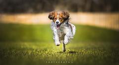 Kooikerdog Luiz! (Marie Balstad) Tags: kooiker kooikerhondje kooikerdog outdoors outside canon dog happy energy action