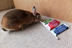 Ichigo san 679 (Ichigo Miyama) Tags: いちごさん。うさぎ ichigo san rabbit bunny netherlanddwarf brown ネザーランドドワーフ ペット いちご うさぎ