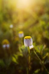 Go to Sleep (agruszka21) Tags: light sun white flower green yellow pentax k200d pentaxart thepinnaclehof tphofweek249