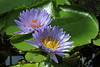 Waterlilies (RüdigerF) Tags: hannover explore waterlilies herrenhäusergärten seerosen photographyforrecreation berggartenherrenhausen
