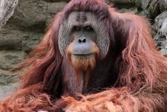 orangutang (Jane Inman Stormer) Tags: face look hair fur zoo eyes cincinnati large wise stare wisdom gaze primate orangutang cincinnatizooandbotanicalgarden