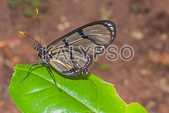 Black Transandina Cattle Heart Butterfly, South America (kalypsoworldphotography) Tags: wild plant black green southamerica nature beautiful fauna forest butterfly insect freedom fly leaf ecuador flora amazon rainforest cattle heart background wildlife wing spot lepidoptera exotic papillon evergreen jungle tropical andes nectar resting delicate metamorphosis swallowtail gentle fluttering cordillera andean amazonian entomology amazonia parides transandina iphidamas