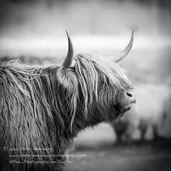 Highland Cows (Peter Greenway) Tags: scotland cow inverness highlandcow hairycow invernesshire shaggycow