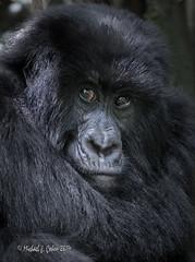 Gorilla Face (MyKeyC) Tags: africa gorilla rwanda mountaingorilla aaacolgorilla