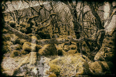 Where Wisht Hounds Roam (ShrubMonkey (Julian Heritage)) Tags: wood old trees stone woodland oak ancient eerie legendary haunted creepy devon mystical magical dartmoor hellhound wistmanswoods wishthound