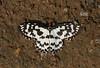 Pterothysanus laticilia (Antonio Giudici Butterfly Trips) Tags: thailand lepidoptera moths chiangmai callidulidae chiangdaowildlifesanctuary pterothysanuslaticilia pterothysaninae antoniogiudicibutterflytrips wwwantoniogiudicicom wwwthaibutterfliescom