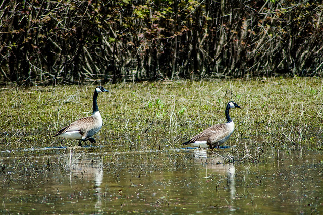 Oxbow - Mercer Pond - Canada Geese - April 26, 2014
