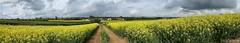031Oil Seed Fields Panarama. (Rosemarie.s.w) Tags: landscape spring somerset panasonic april panarama oilseedrapefields panasonicdmcft25 somersetfeildspanarama