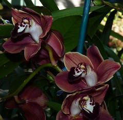 Cymbidium Mighty Remus 'Cabaret' hybrid orchid (nolehace) Tags: cymbidium mighty remus cabaret hybrid orchid 314 nolehace fz35 sanfrancisco