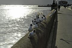 Poole gulls (dawn.v) Tags: uk sea england seagulls wall coast shiny gulls sparkle dorset april poole seabirds poolebay
