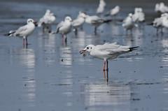 Brown Headed Gull (chhobipagla) Tags: seagull gull sundarban brownheadedgull dublarchor
