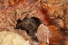 Banksia beetle larva (zosterops) Tags: macro australia tasmania hobart larvae ringflash coleoptera insecta kenkoextensiontubes banksiamarginata knockloftyreserve canonmr14ex canonmacrolensef100mm canoneos550d