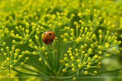 Pretty Lady :)) (ArvinderSP) Tags: india plant macro nature closeup bug insect photography nikon ladybug newdelhi prettylady 549 natureupclose arvindersingh dillflowers arvindersp arvinderspcom