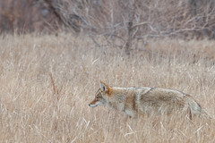 On the hunt (-iamryanmckinney) Tags: coyote creek canon cherry colorado hunting 70200 5dmkii
