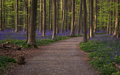 Forest of Halle #2 (Gikon) Tags: trees green bluebells forest spring woods nikon path 1855mm forestpath hallerbos cplfilter fairyforest gikon d3100