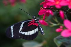 Doris Longwing butterfly on Big sage flower (islavenburg) Tags: holland netherlands rotterdam butterflies course activities flowersplants lantanacamara diergaardeblijdorp dorislongwing photocourse bigsage heliconiusdoris