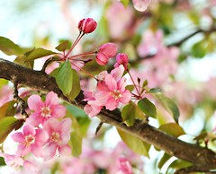 Happiness is the art of making a boquet out of flowers within reach......Bob Goddard (nushuz) Tags: pink blossoms explore prettyinpink crabapple soverypretty wholelottalove bokehlicious walkingaroundtheneighborhood bloomedlatethisyear