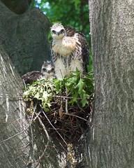 The Usual Suspects (mausgabe) Tags: nyc bird hawk centralpark olympus redtail sheepmeadow em1 eyass olympusomdem1 panasoniclumixg100300mmf4056