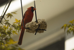 Male Cardinal May - 2014 - 2 (njumer) Tags: male bird nature birds animal animals digital canon photography rebel photo cardinal photos dslr cardinals vertebrate vertebrates t2i