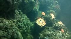 clown fish and sea anemone (Eljay) Tags: clownfish seaanemone londonaquarium