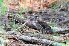 Female Wood Duck. (rlbarn) Tags: wood duck