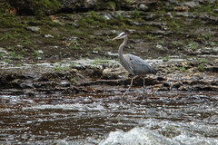 Great Blue Heron (Mark Heine Photos) Tags: ontario canada river spring limestone grandriver greatblueheron conservationarea eloragorge centrewellington markheine