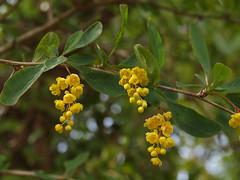 Berberis vulgaris L. - Barberry (Peter M Greenwood) Tags: barberry vulgaris berberis berberisvulgaris