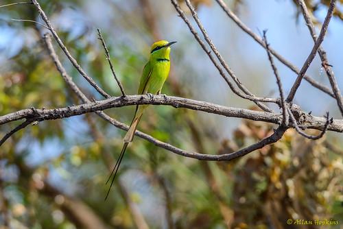 Little Green Bee-eater (Merops orientalis viridissimus)