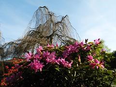 5836 Rhodedendron (Fotomouse) Tags: pink nature garden bush flickr blossom natur rhodedendron shrub blte bushes bume garten baum extraordinary strauch shrubbery strucher rosarot aussergewhnlich fotomouse rhodedendronblte