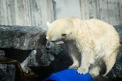 polar bear (Cloudtail the Snow Leopard) Tags: zoo wilhelma stuttgart tier animal säugetier mammal bär bear eis polar arctic female cloudtailthesnowleopard