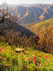 Yosemite flowers (d_silva1) Tags: fire yosemite yosemitenationalpark rim yosemitevalley regeneration rimfire yosemiteflora