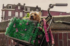 (McQuaide Photography) Tags: city dog holland netherlands amsterdam canon eos europe nederland hond dslr stad 100d mcquaidephotography