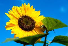 Sunflower (Me in ME) Tags: summer flower portland flora maine bluesky sunflower easternpromenade