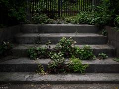 ドクダミ階段 [explored] (kasa51) Tags: plant flower japan stairs weed blossom steps yokohama earlysummer 階段 ドクダミ totsuka fishmint