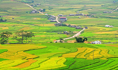 195565685_ Terraced rice fields in Mu Cang Chai, YenBai, Vietnam (phuong.sg@gmail.com) Tags: county travel food mountain plant green nature ecology field landscape asian outside leaf asia rice terrace farm ground system vietnam soil valley plantation land environment local rough agriculture patchwork curve horticulture sapa indochina regulation grows