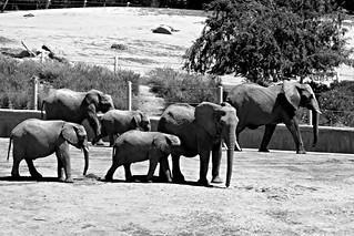 African Elephants -