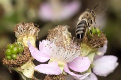 Blüten mit Biene beim Abflug (thomaskappel) Tags: mit beim biene abflug blten