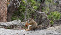Ground Squirrel with Pine Cone (Matt Thalman - Valley Man Photography) Tags: trees forest nationalpark squirrel colorado sitting unitedstates eating wildlife places pinecone rockymountainnationalpark groundsquirrel