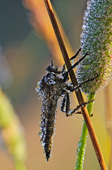 Machimus atricapillus (owiec czarniawy) (tobiaszj) Tags: morning light detail macro fog proud composition sunrise insect was early fly am high focus colours close view natural very time pentax photos bokeh quality live awesome tripod meadow illumination insects it bugs iso dew processing worth them but these quite makro vivitar f28 rendering hoverfly k5 robber trekker assasin soligor mkiii sharpness 105mm mk3 kiron atricapillus benbo denoise machimus bokehlicious bokehliciousness darktable